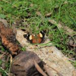Eagle Peaks 7 - This butterfly came to visit us when we stopped for lunch
