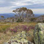 The Crosscut Saw 42 - spring flowers on Mt Speculation